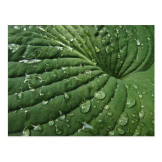 Raindrops on Hosta Leaf Postcard