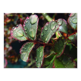 Raindrops on rose tree leaves photograph