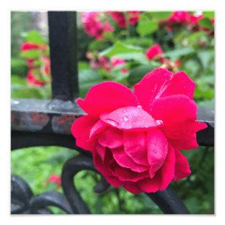 Raindrops Pink Rose Flower Roses Rainy Day NYC Photo Print