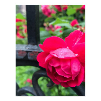 Raindrops Pink Rose Flower Roses Rainy Day NYC Postcard