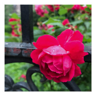 Raindrops Pink Rose Flower Roses Rainy Day NYC Poster
