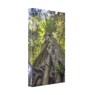 Rainforest Queensland Australia Canvas Print