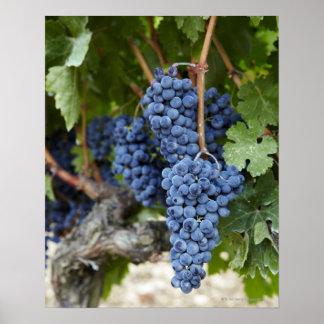 Raisins de vin rouge sur la vigne poster