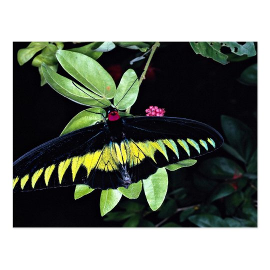Rajah Brooke's male birdwing, Malaysia Postcard