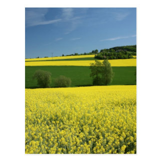 Rapeseed field near Bavenhausen, Germany Postcard