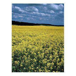 Rapeseed, Wiltshire, England Postcard