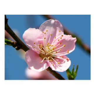 Raspberry Bloom Postcard