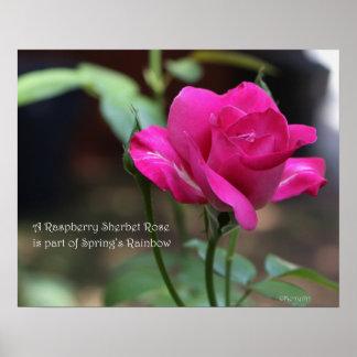 Raspberry Sherbet Rose Poster: ROSE & PROSE 20x16 Poster