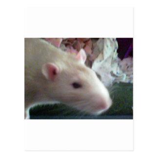 Rats Postcard