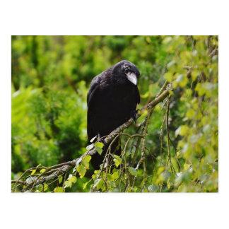Raven in Tree Postcard