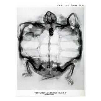 Rayon X vintage de tortue Cartes Postales