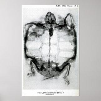 Rayon X vintage de tortue Poster
