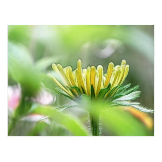 Ready To Bloom - Rudbeckia Postcard