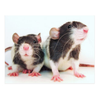 Real Women Own Rats! Postcard