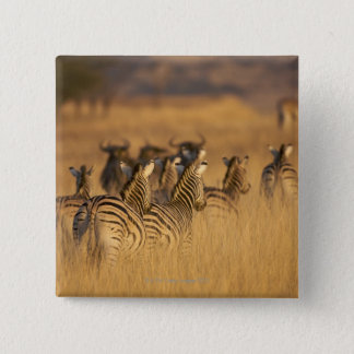 Rear view of Plains Zebra (Equus quagga), Tala 2 Inch Square Button