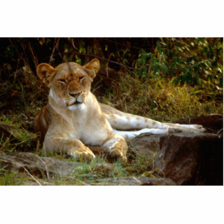 Reclining African Lion Lioness Photo Cut Out