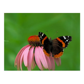 Red Admiral Butterfly on Purple Cone Flower Postcard