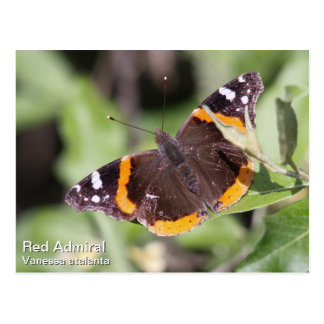 Red Admiral Postcard