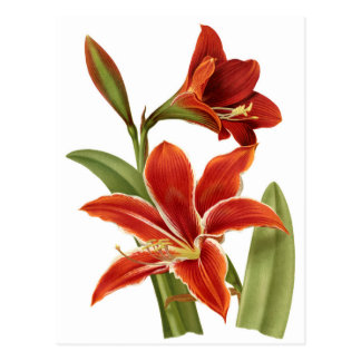 Red Amaryllis Botanical Print Postcard