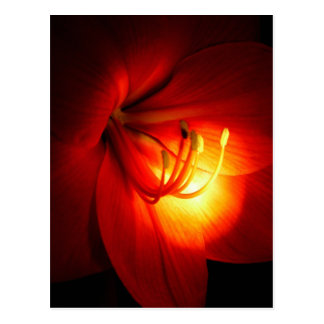 Red Amaryllis Postcards