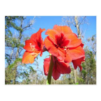 Red Amaryllis with Blue Sky Postcard