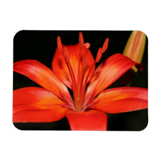 Red and Orange Asiatic Lily Closeup Photo Magnet