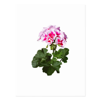 Red And Pink Geranium Postcard