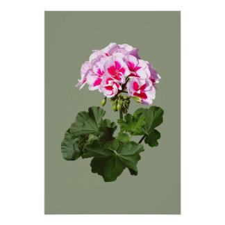 Red And Pink Geranium Poster