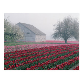 Red and pink tulips greet the day on a misty postcard