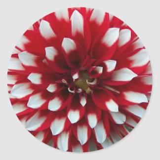 Red and White Dahlia Floral Classic Round Sticker