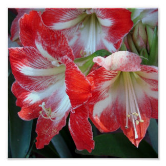 Red and White Stripe Amaryllis poster