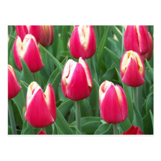 Red and White Tulip Field Postcard