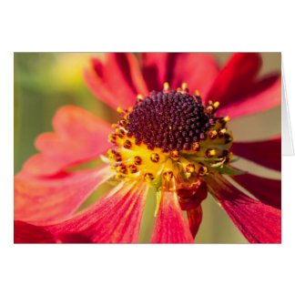 Red and yellow Cone Flower, Echinacea Card