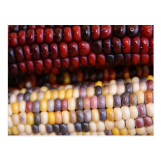 Red and Yellow Indian Corn Postcard