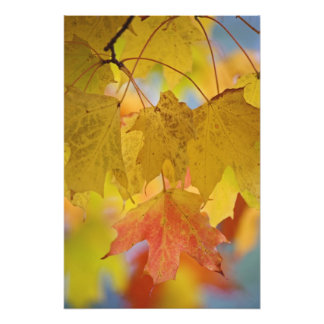 Red and yellow maple leaves, in the southern photo