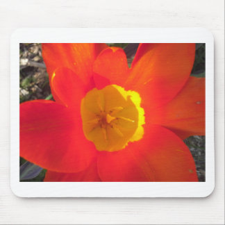Red and yellow open tulip flower mouse pad