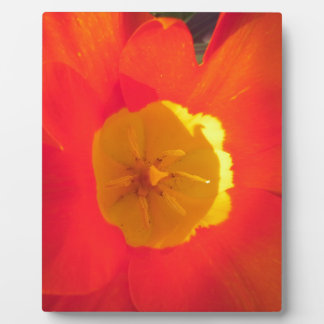 Red and yellow open tulip flower plaque