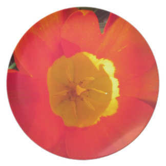 Red and yellow open tulip flower plate