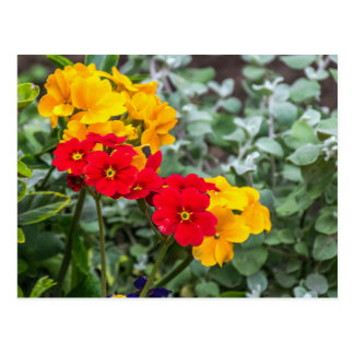 Red and yellow primroses postcard