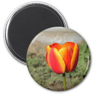 Red And Yellow Tulip Magnet