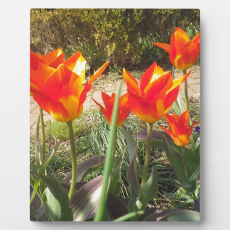 Red and Yellow Tulips Plaque