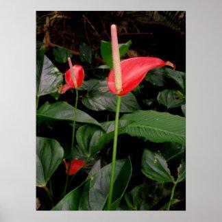 Red Anthurium Poster