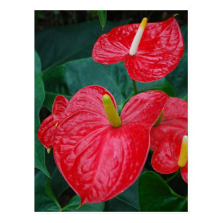 Red anthurium - tropical flower postcard