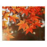 Red Autumn Maple leaves Poster