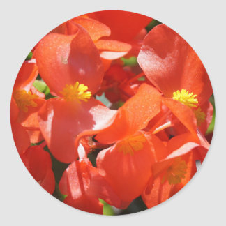 Red Begonia Flower Photo Classic Round Sticker