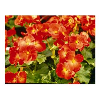 Red Begonia X Rex Cultorum (Rex Begonia) flowers Postcard