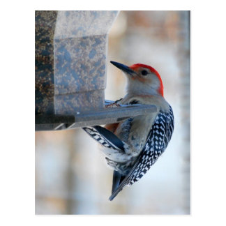 Red-bellied Woodpecker at Bird Feeder Postcard