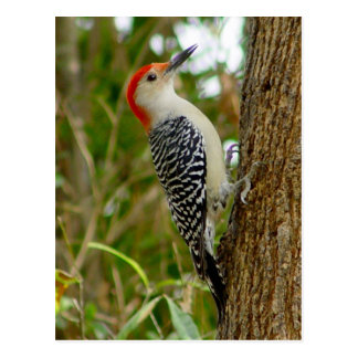 Red Bellied Woodpecker Bird Postcard