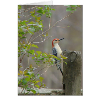 Red bellied woodpecker card