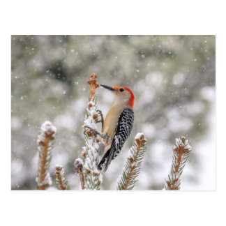 Red-bellied Woodpecker in the snow Postcard